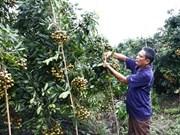 Hung Yên expédiera ses longanes aux États-Unis