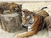 Le Vietnam ne recense que  20 tigres d'Indochine