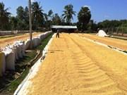 Plus de 45 millions de tonnes de riz produits en 2015