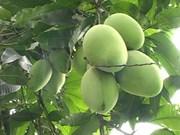 Les mangues de Cat Chu seront exportées au Japon