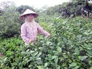 Des millions de dollars d'exportation de feuilles de citronnier