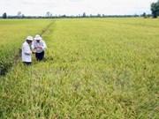 Ha Nam: production expérimentale du riz Japonica