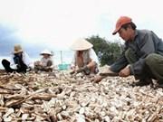 Manioc : 1,5 milliard de dollars d'exportations prévus cette année