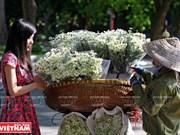 Hanoi et la saison du chrysanthème des Indes