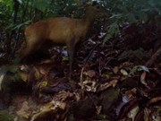 Une espèce de grand muntjac découverte dans la réserve Pù Hu