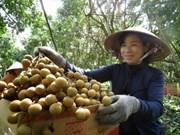 Dông Thap: 100 tonnes de longanes Edor expédiées aux Etats-Unis