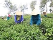 Le thé de Tam Duong vise les marchés les plus exigeants