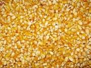 Maïs: nette hausse des importations nationales au 1er trimestre