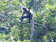Thanh Hoa : un groupe de primates rares en passe de disparaître