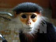 Remise d'un langur douc à jambes grises au Parc national de Cuc Phuong