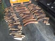 Singapour détruit 7,9 tonnes d'ivoire de contrebande