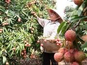Les entreprises australiennes et malaisiennes apprécient les litchis de Bac Giang