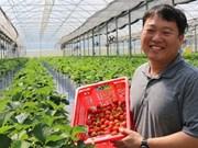 Des fraises coréennes cultivées au Vietnam
