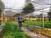 Aides japonaises pour la culture de la menthe à Binh Thuân