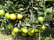 Hoa Binh : bientôt la 2e Fête des oranges de Cao Phong