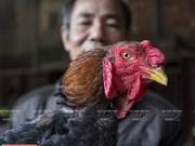 Le «poulet sacré» du village de Lac Thô