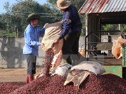 Le Vietnam veut développer la caféiculture durable face au réchauffement