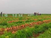 Les carottes du Vietnam exportées en Malaisie