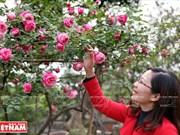 Les roses anciennes, une nouvelle voie pour s'enrichir