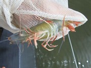 Aquaculture : Plus de 100 milliards de dôngs pour contrôler les épidémies
