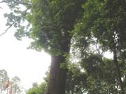 Un Lim millénaire à Bac Giang