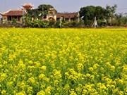 Thai Binh : escapade dans les champs de fleurs de chou pak-choï