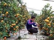 Les marchés des kumquats s'agitent avant le Têt