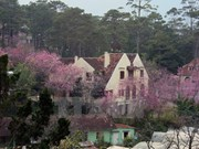 Bientôt un Festival des fleurs de cerisiers Da Lat