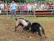 Les combats de boucs de Hoàng Su Phi