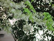Hanoï : floraison des Dalbergia tonkinensis