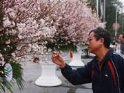 Environ 7.000 branches de cerisier japonais seront exposées à Hai Phong