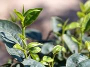 Les exportations de thé vers les Etats-Unis en bonne voie