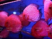 Les poissons d'aquarium sont à la mode à Hanoi