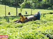 La théiculture aide à repousser la pauvreté à Hanoi