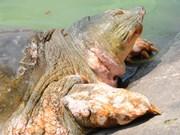 La légendaire tortue géante de Hoàn Kiêm s'en est allée