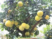 Un pamplemoussier à l'allure bonsaï très prisé à Hanoi