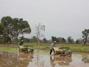 Le Laos prévoit d'exporter un million de tonnes de riz