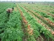 Opportunités d'export de carottes de Bac Ninh à Taïwan (Chine) et au Japon