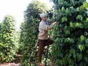 Le Vietnam table sur 148.000 tonnes d'exportation de poivre
