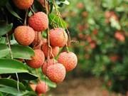 Des mesures pour faciliter l'exportation des litchis via Lang Son