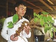 Un ginseng de Ngoc Linh de 100 ans à Quang Nam