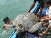 Au chevet des tortues marines de Côn Dao