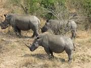 Le Vietnam appelle à ne pas légitimer le trafic des cornes de rhinocéros