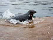 Un phoque gris fait son apparition en mer de Binh Thuân
