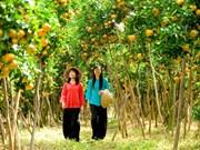 Dans la province de Dông Thap : le royaume des mandarines roses