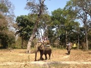 Yok Don préserve en urgence les éléphants de forêt