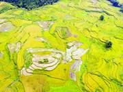 Rizières en terrasses, splendeur du grand tableau naturel de Sapa