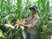 Hausse des importations de maïs depuis janvier