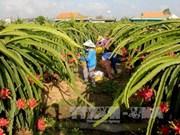 Le Vietnam exporte pour la première fois des pitayas en Australie