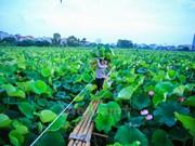 Hanoï : le thé au lotus fait son apparition dans les circuits touristiques au lac de l'Ouest